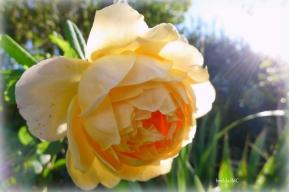Golden Celebration in the Morning Sun