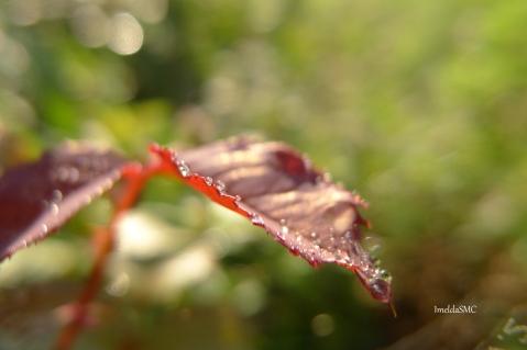 ROse foliage 1