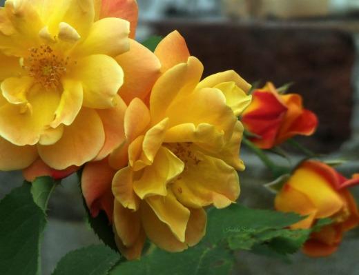Joseph's-Coat-roses
