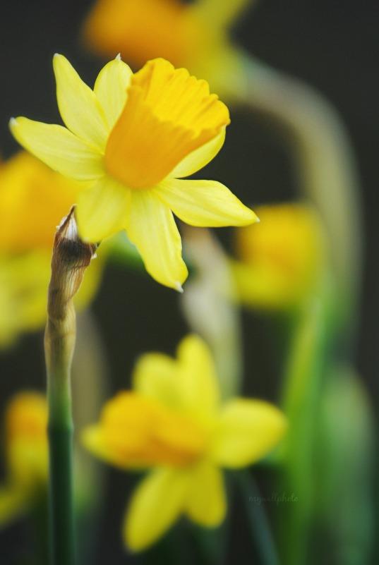 daffodilagain2