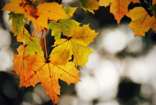yellow maple